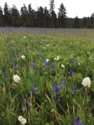 Camas in the wild